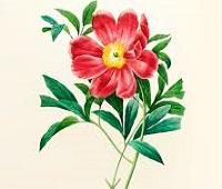 گل صحرا