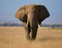 Listening practice on elephants with flashcards for IELTS & TOEFL
