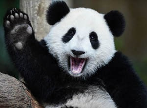English Documentary on Giant Pandas with Transcript at LELB Society to practice listening, reading and vocabulary