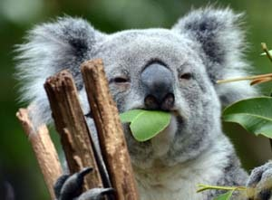 English Documentary on Koalas with Transcript, podcast and flashcards at LELB Society to practice English