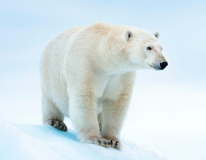 English Documentary on Polar Bears at LELB Society with podcast and flashcards for IELTS & TOEFL