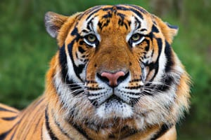 English Documentary on Tigers with Transcript at LELB Society for IELTS & TOEFL