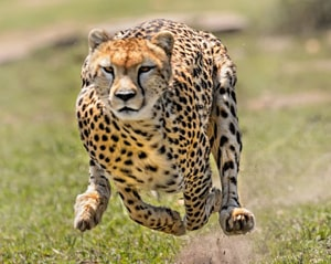 English Documentary on Cheetahs with Transcript & Flashcards at LELB Society