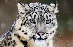 English Documentary on Snow Leopards with Transcript and flashcards at LELB Society to improve English