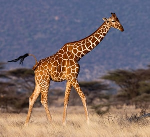 English Documentary on Giraffes with Transcript & Flashcards at LELB Society