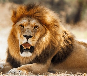 English Documentary on Lions with Transcript & Flashcards at LELB Society